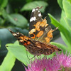 Tattered Painted Lady Butterfly on Pink Sedum Blooms