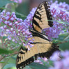 Tossed and Torn Tiger Swallowtail on Butterfly Bush