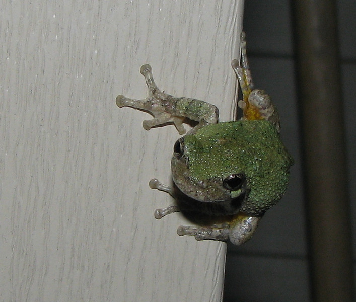 Eastern Gray Treefrog With Green Coat To Match The Leaves_2