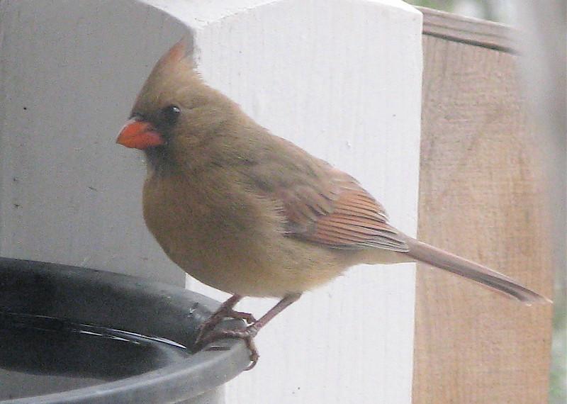 Female Cardinal At Heated Waterbath