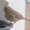Female Cardinal At Heated Waterbath