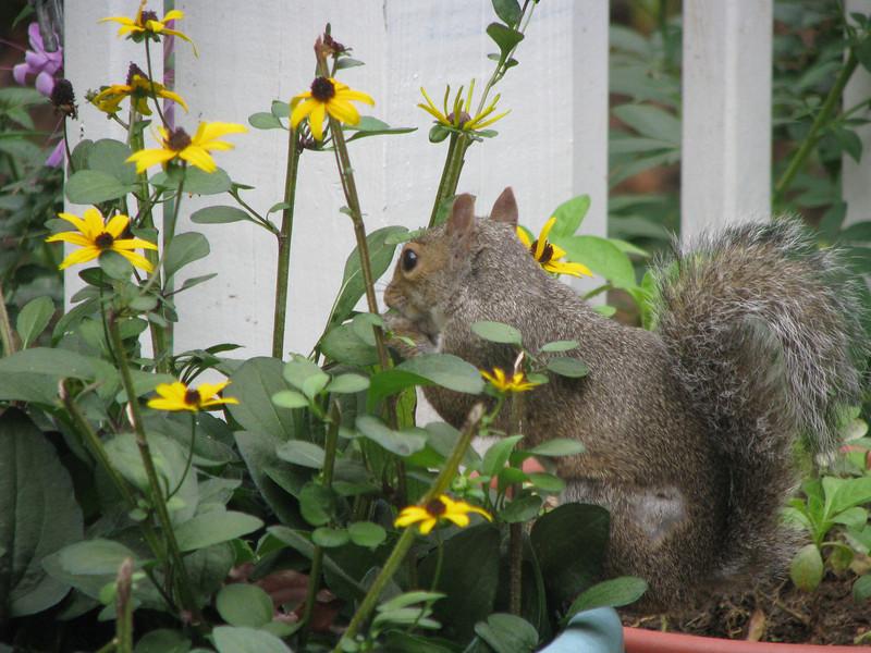 Squirrel Eating Rudebekia - Black Eye Susans