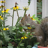 Squirrel Eating Rudebekia - Black Eye Susans