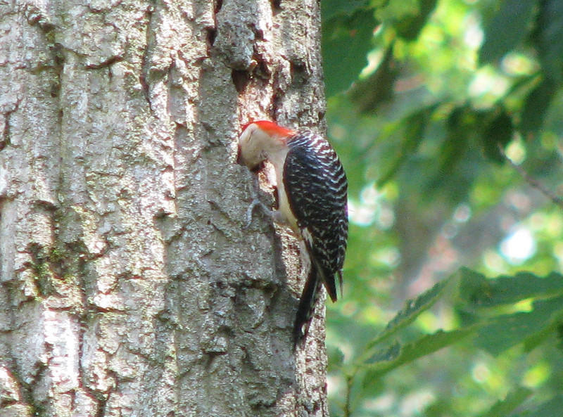 Red-bellied Woodpecker Drilling For Nest Or Bugs
