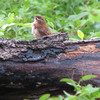 Carolina Wren On Log