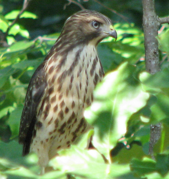 Juvenile Red-shouldered Hawk From Nest Behind Property_2