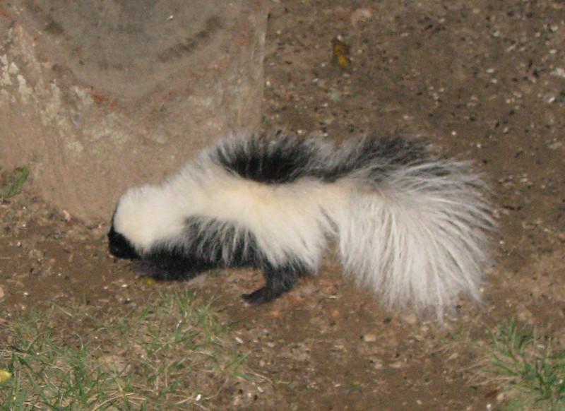 Striped Skunk Beneath Rear Feeder