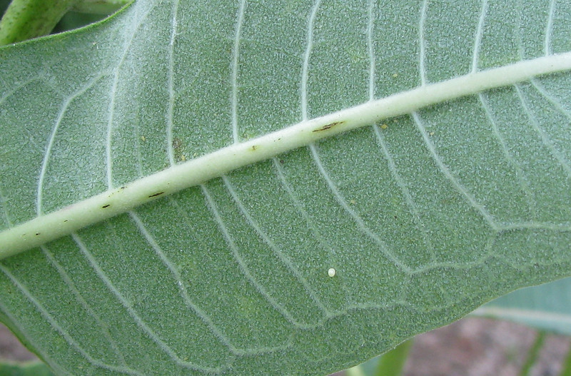 Monarch Egg On Underside of Milkweed Leaf - Generally One Egg Is Placed Per Leaf