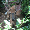 Cute Young Deer Watching Me From Front Yard Hideaway