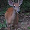 Teenager Deer