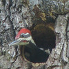 Male Pileated Woodpecker Nestling At Dotty Hopkins