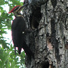 Pileated Woodpeckers - What A Job On The Hole With That Powerful Beak