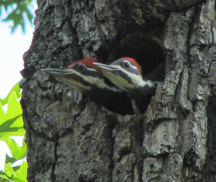 But I Don't See Mom Anywhere Around - Pileated Woodpecker Nestlings