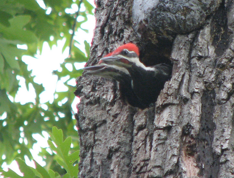 Pileated Woodpeckers Nestling