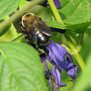 Bee On Blue-Black Salvia