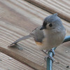 Tufted Titmouse on Front Porch