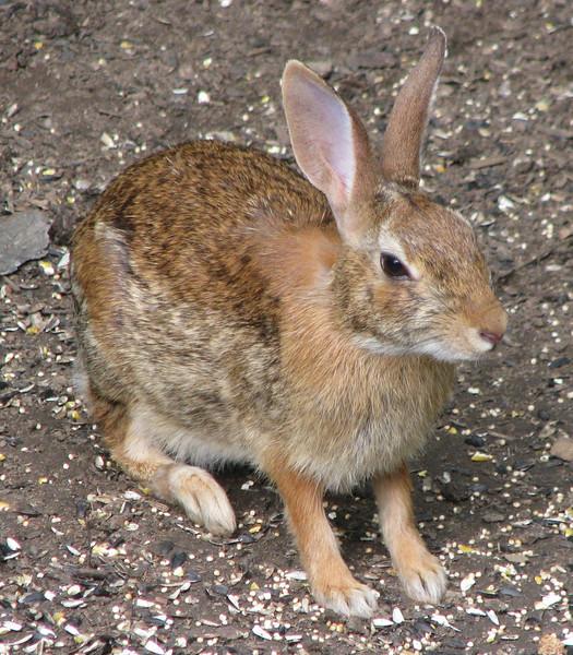 Rabbit At Rear Feeder