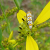 Green-headed Coneflower With Alianthus Moth