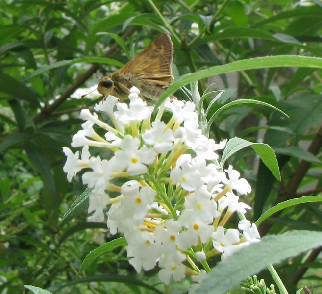 White Butterfly Bush With Skipper Butterfly_2