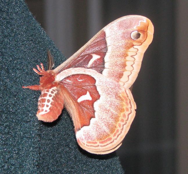 Silkworm Moth on Randal's Jacket