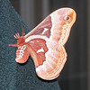 Silkworm Moth on Randal's Jacket
