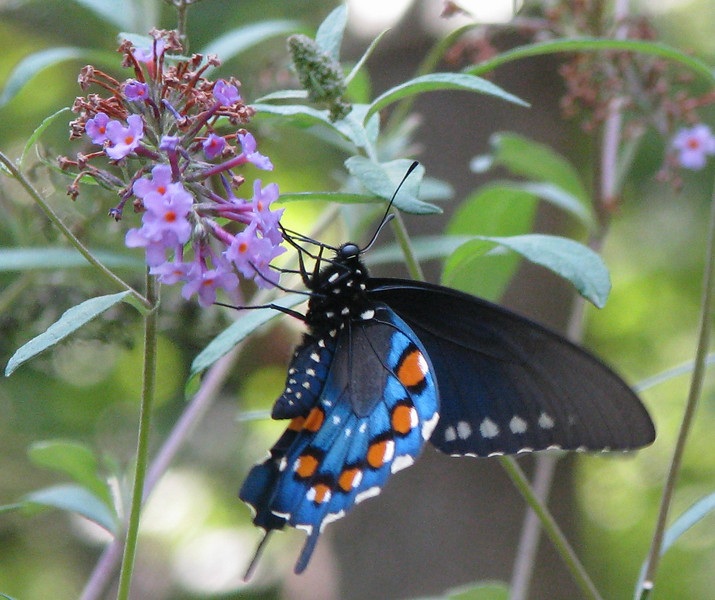 Underside of Male Pipevine Swallowtail