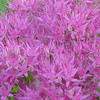 Close-up Of Sedum Flowers