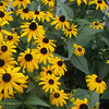 Black-eyed Susans on Deck - July 27