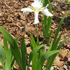 First Year of Bloom on White Iris - May 6