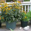 One Of Two Pots of Black-eyed Susans On Deck
