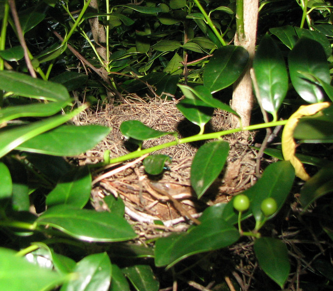 Woven Gray Catbird Nest