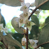 Autumn Olive Blooms - Eleagnus