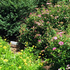 Coreopsis and Anthony Waterer Spirea