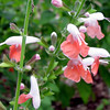Hummingbird Salvia