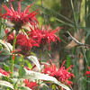 Red Bee Balm We Added Last Year 6-22-08