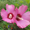 Last Of The Rose of Sharon Blooms