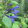 Blue Black Salvia