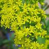 Goldenrod Blooms
