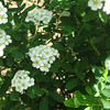 Spring White Spirea In Bloom - May 6
