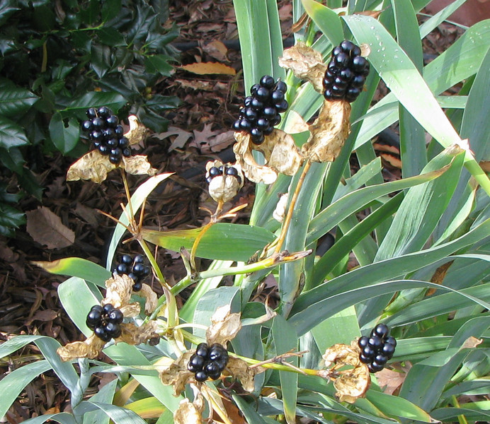 Blackberry Lilies With Seeds