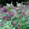 Milkweed Blooms With Bees