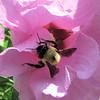 Bee On Rose Of Sharon Flower