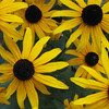Black-eyed Susans on Deck - July 27_2
