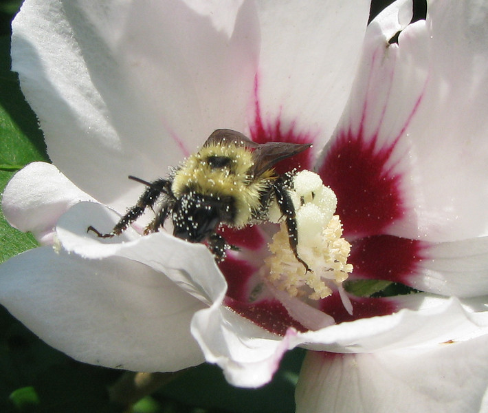 Pollen Covered Bee In Rose Of Sharon Flower_2