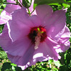 Rose Of Sharon Bloom With Bee Inside