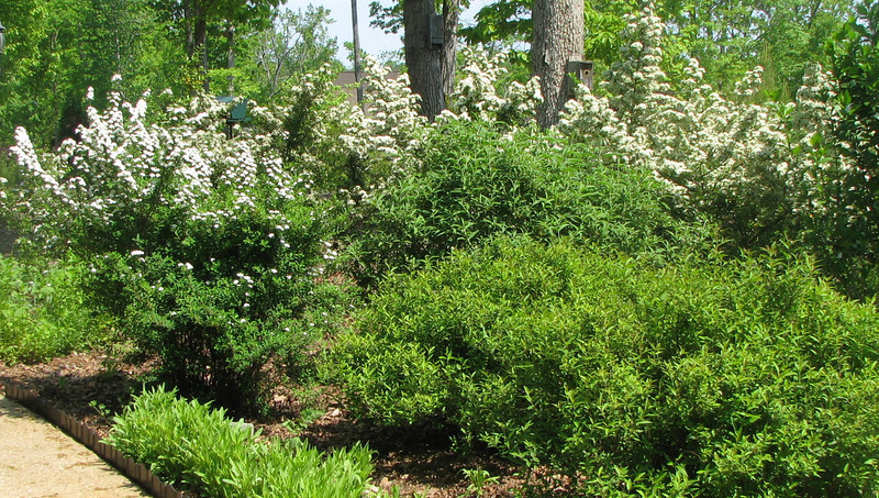 White Spirea and Pyracantha In Bloom - May 6