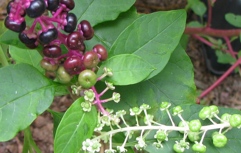 Various Stages of Poke Weed Berries