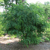Honey Locust Tree - 2008
