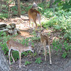 Two Fawns With Mama Deer By Pond Out Back
