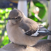 Northern Mockingbird at Porch Feeder